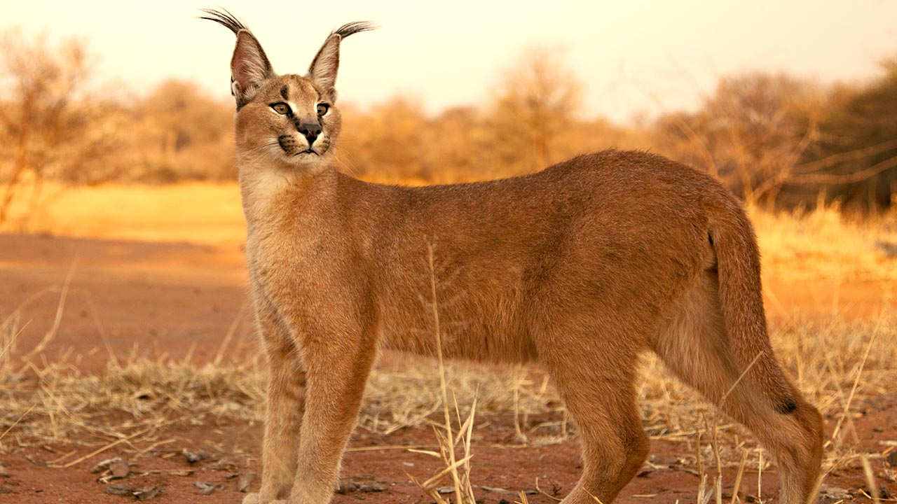 Beautiful Creatures Caracal