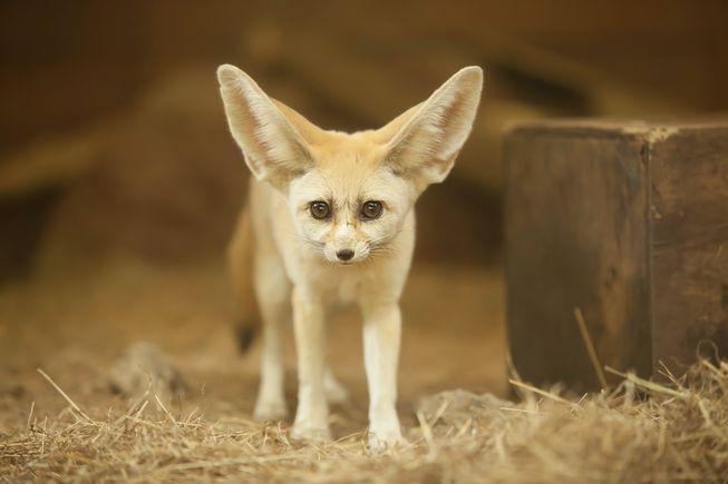 Beautiful Creatures Fennec Fox