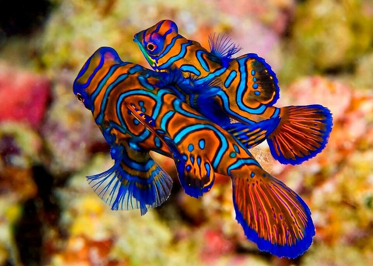 Beautiful Creatures Mandarin Fish