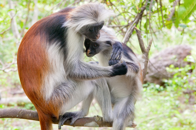 Beautiful Creatures Zanzibur Red Colobus