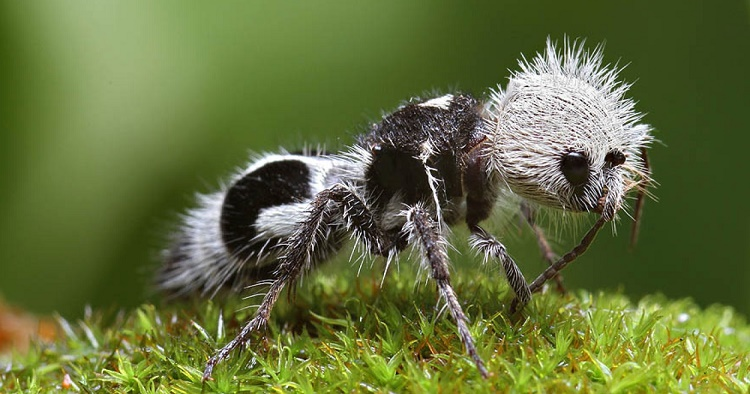 Beautiful Creatures panda ant