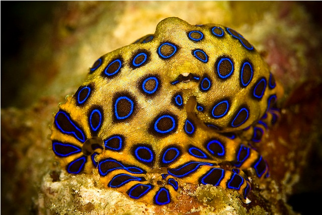 Dangerous Blue Ringed Octopus