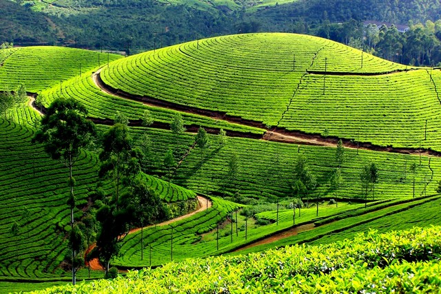 Honeymoon Munnar